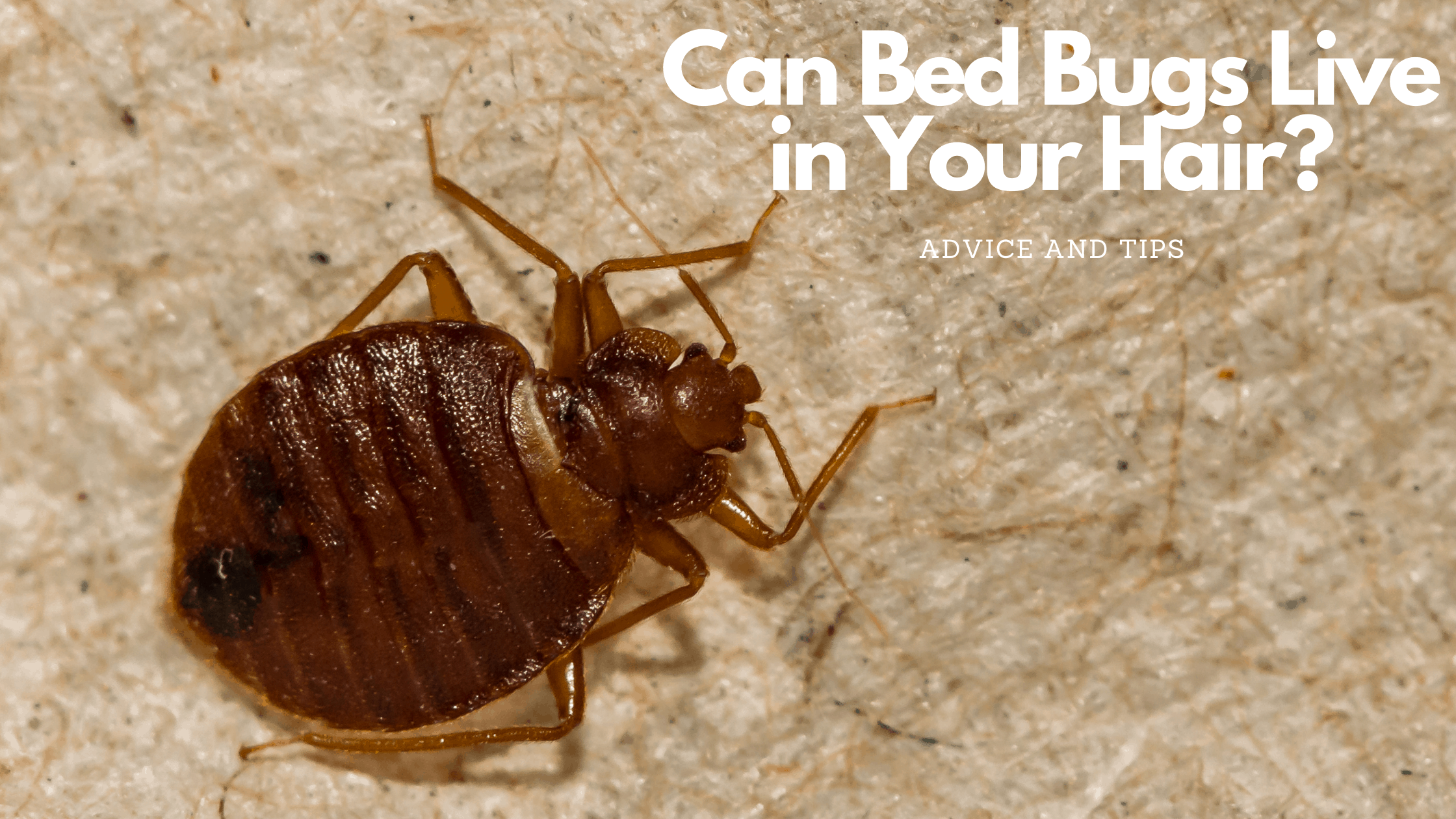 bedbugs living in hair